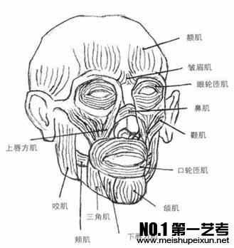 青岛美术培训之素描人头像教程——头部骨骼与肌肉